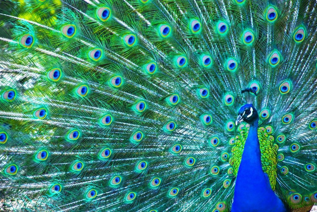 Beautiful peacock showing feathers questas consulting - Beautiful peacock feather ...