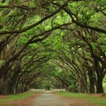 Balance in nature - avenue of oaks creating archway